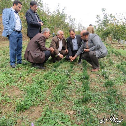 آغاز برداشت طلای سرخ از مزارع روستای پاقلعه بخش مرکزی شهرستان رامیان
